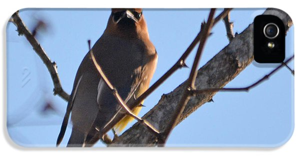 Cedar Wax Wing On The Lookout IPhone 5 / 5s Case by Barbara Dalton