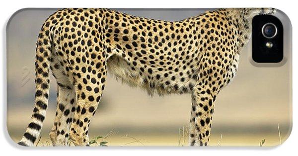Cheetah Acinonyx Jubatus On Termite IPhone 5 / 5s Case by Winfried Wisniewski