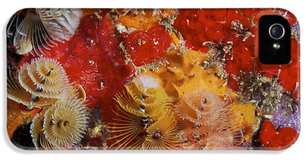 Tubular iPhone 5 Cases - Christmas Tree Worms, Bonaire iPhone 5 Case by Terry Moore