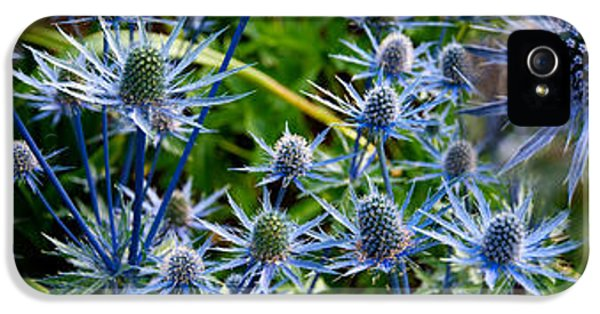 Close-up Of Blue Thistle Flowers IPhone 5 / 5s Case by Panoramic Images