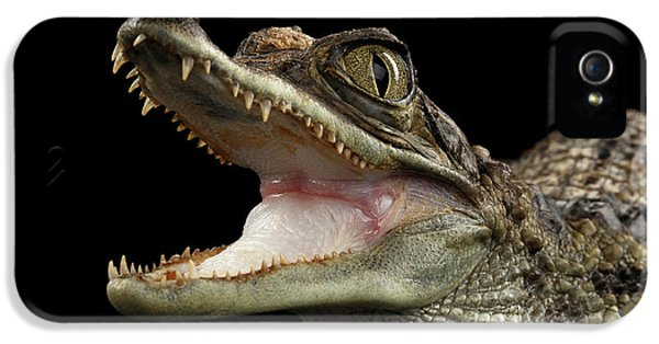 Closeup Young Cayman Crocodile, Reptile With Opened Mouth Isolated On Black Background IPhone 5 / 5s Case by Sergey Taran