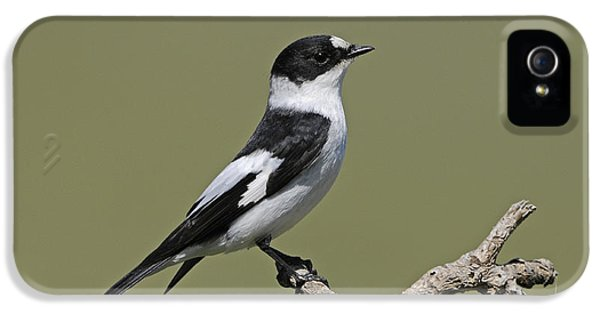 Collared Flycatcher IPhone 5 / 5s Case by Richard Brooks/FLPA