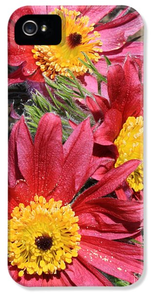 Pasque Flower iPhone 5 Cases - Colorful Pasque Flowers iPhone 5 Case by Carol Groenen