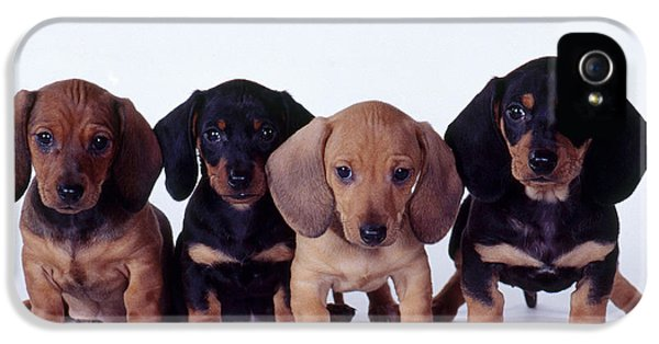 Canid iPhone 5 Cases - Dachshund Puppies  iPhone 5 Case by Carolyn McKeone and Photo Researchers