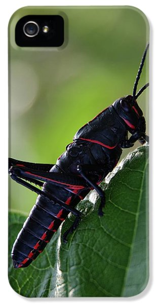 Eastern Lubber Grasshopper IPhone 5 / 5s Case by Richard Rizzo