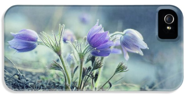 Common Pasque Flower iPhone 5 Cases - Finally Spring iPhone 5 Case by Priska Wettstein