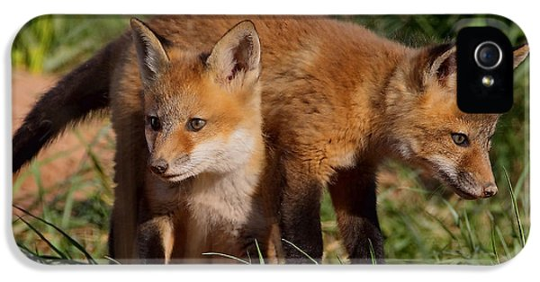 Young Foxes iPhone 5 Cases - Fox Cubs Playing iPhone 5 Case by William Jobes