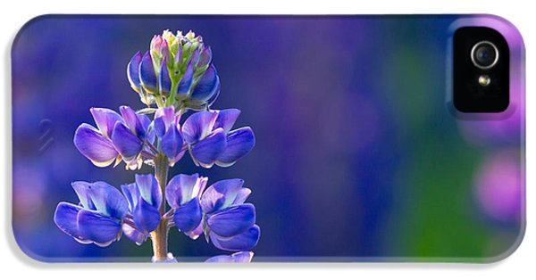 Lupine iPhone 5 Cases - Golden Hour Lupine iPhone 5 Case by Mary Amerman