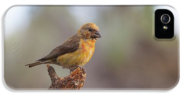 Juvenile Male Red Crossbill IPhone 5 / 5s Case by Doug Lloyd