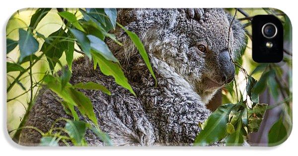 Koala Joey IPhone 5 / 5s Case by Jamie Pham