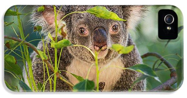 Koala Leaves IPhone 5 / 5s Case by Jamie Pham