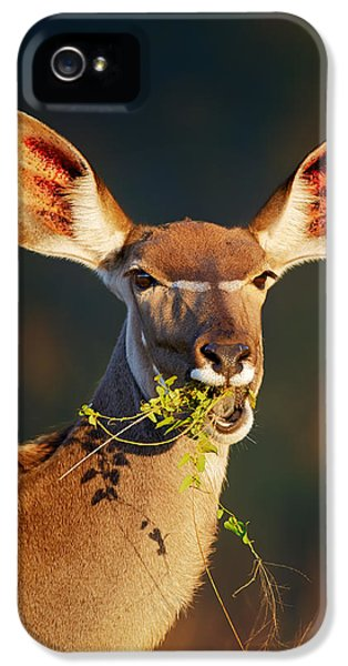 Feeding iPhone 5 Cases - Kudu portrait eating green leaves iPhone 5 Case by Johan Swanepoel