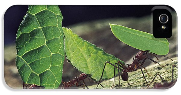 Leafcutter Ant Atta Cephalotes Workers IPhone 5 / 5s Case by Mark Moffett