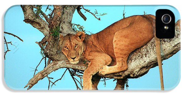 Lion iPhone 5 Cases - Lioness in Africa iPhone 5 Case by Sebastian Musial