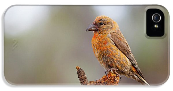 Male Red Crossbill IPhone 5 / 5s Case by Doug Lloyd