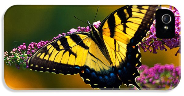 Swallowtail iPhone 5 Cases - Male Tiger Swallowtail Butterfly On iPhone 5 Case by Panoramic Images