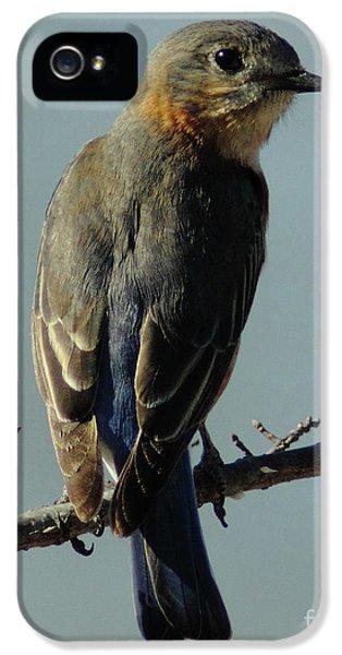 Bird Watcher iPhone 5 Cases - Mrs. Bluebird iPhone 5 Case by Robert Frederick
