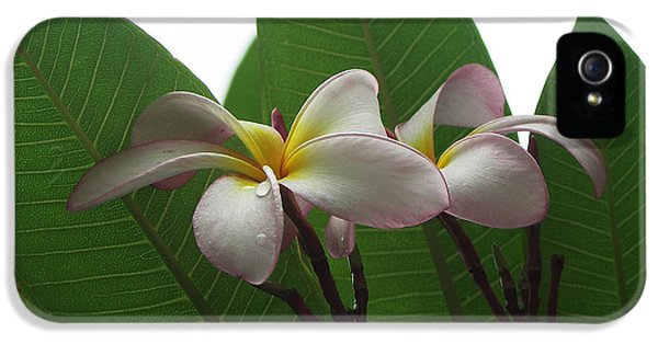 Yellow And White Plumeria Flower Frangipani iPhone 5 Cases - Mysterious Plumeria iPhone 5 Case by Kathleen Wong