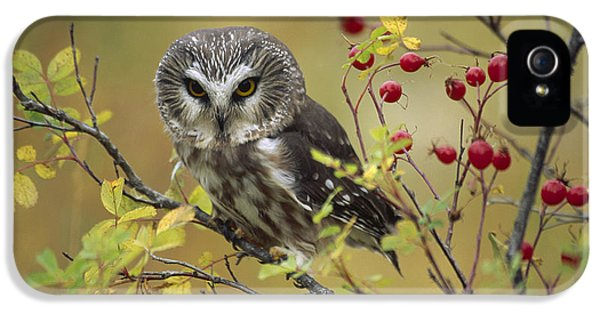 Northern Owl iPhone 5 Cases - Northern Saw Whet Owl Perching iPhone 5 Case by Tim Fitzharris