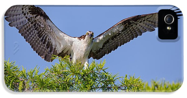 Wildlife iPhone 5 Cases - Osprey with Wide-Open Wings iPhone 5 Case by Andres Leon