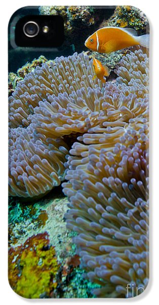 Polyp iPhone 5 Cases - Pink Anemonefish Guard Their Anemone iPhone 5 Case by Michael Wood
