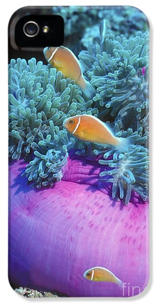 Polyp iPhone 5 Cases - Pink Anemonefish Protect Their Purple iPhone 5 Case by Michael Wood
