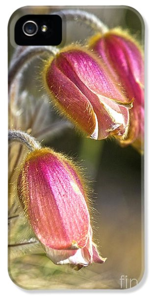 Pasque Flower iPhone 5 Cases - Pink Pasqueflower iPhone 5 Case by Heiko Koehrer-Wagner
