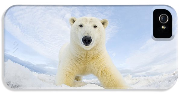 Polar Bear  Ursus Maritimus , Curious IPhone 5 / 5s Case by Steven Kazlowski