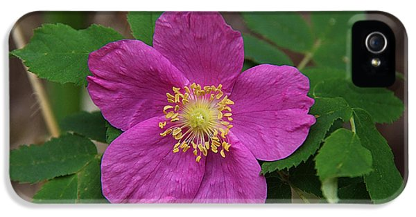 Rosa Acicularis iPhone 5 Cases - Prairie Rose  iPhone 5 Case by Vickie Emms