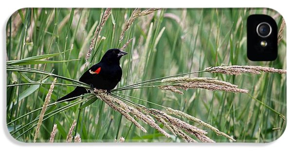 Male iPhone 5 Cases - Red-winged Blackbird iPhone 5 Case by LeAnne Perry