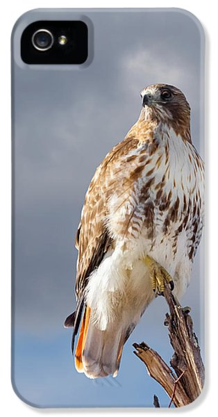 Red Tailed Hawk iPhone 5 Cases - Redtail Portrait iPhone 5 Case by Bill  Wakeley