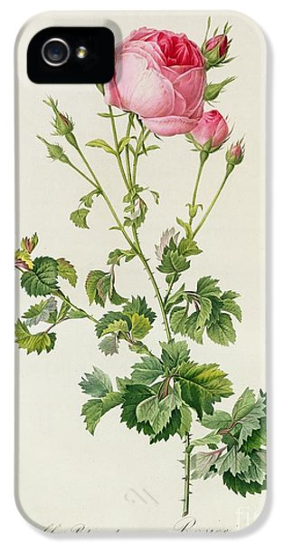 Prickly Rose iPhone 5 Cases - Rosa Centifolia Bipinnata iPhone 5 Case by Pierre Joseph Redoute