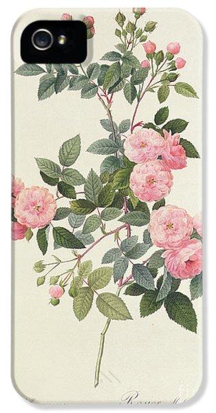 Garden iPhone 5 Cases - Rosa Multiflora Carnea iPhone 5 Case by Pierre Joseph Redoute
