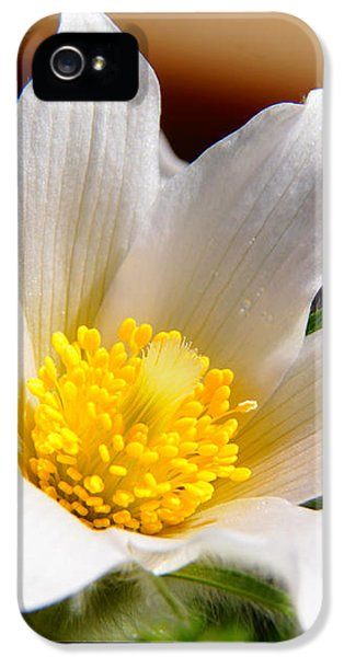 Pasque Flower iPhone 5 Cases - Snowy Pasque Flower iPhone 5 Case by James Mikkelsen