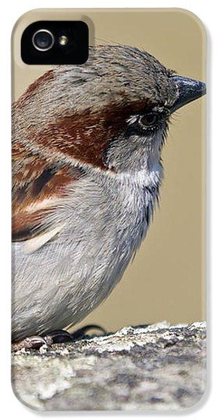 Passeridae iPhone 5 Cases - Sparrow iPhone 5 Case by Melanie Viola