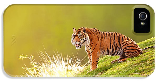 Afternoon iPhone 5 Cases - Sumatran Tiger On Hillside In Morning Light iPhone 5 Case by Susan  Schmitz