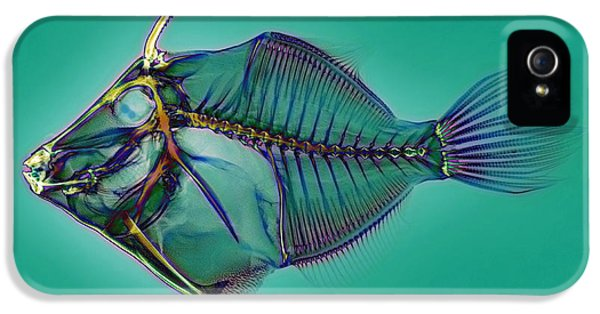 Coloured X-ray iPhone 5 Cases - Triggerfish Skeleton, X-ray iPhone 5 Case by D. Roberts