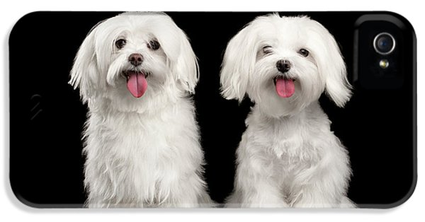 Two Happy White Maltese Dogs Sitting, Looking In Camera Isolated IPhone 5 / 5s Case by Sergey Taran