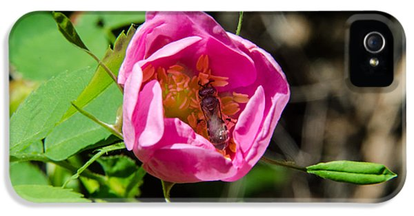 Rosa Acicularis iPhone 5 Cases - Wild Rose and Bee iPhone 5 Case by Rex Wholster