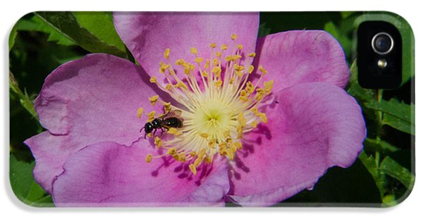 Rosa Acicularis iPhone 5 Cases - Wild Rose Bloom iPhone 5 Case by Rex Wholster