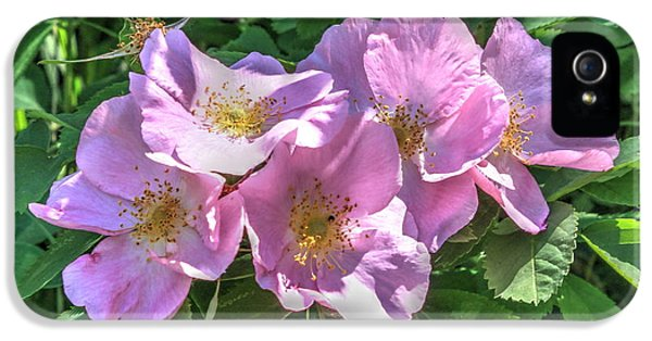 Rosa Acicularis iPhone 5 Cases - Wild Rose Cluster iPhone 5 Case by Jim Sauchyn