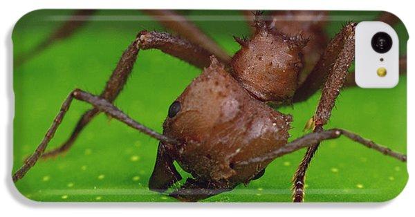 Leafcutter Ant Cutting Papaya Leaf IPhone 5c Case by Mark Moffett