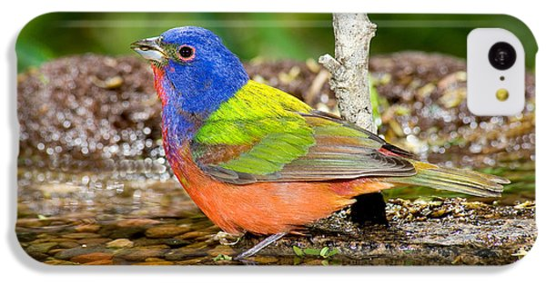 Painted Bunting IPhone 5c Case by Anthony Mercieca