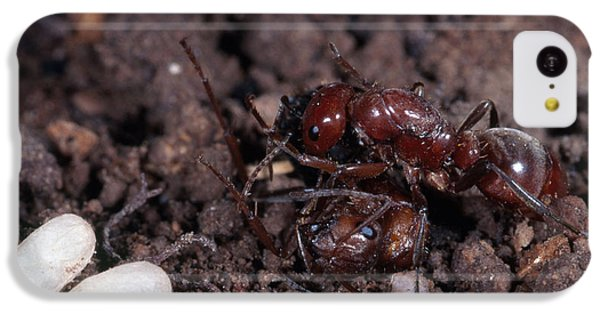 Ant Queen Fight IPhone 5c Case by Gregory G. Dimijian, M.D.