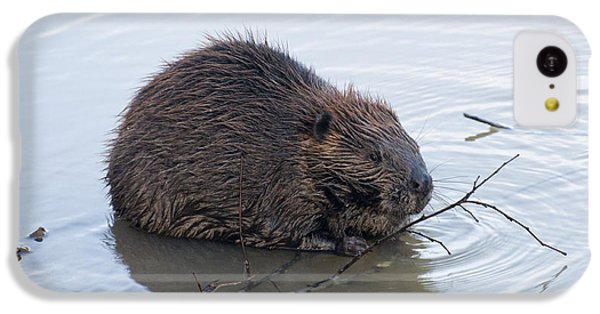 Beaver Chewing On Twig IPhone 5c Case by Chris Flees