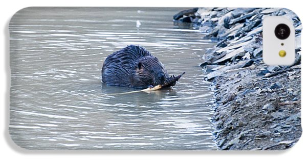 Beaver Chews On Stick IPhone 5c Case by Chris Flees