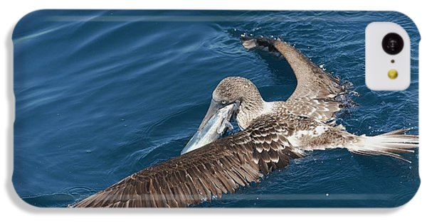Blue-footed Booby Feeding IPhone 5c Case by Christopher Swann