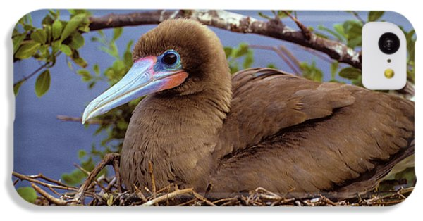 Brown Color Morph Of Red-footed Booby IPhone 5c Case by Thomas Wiewandt