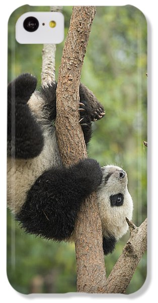 Giant Panda Cub In Tree Chengdu Sichuan IPhone 5c Case by Katherine Feng