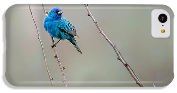 Indigo Bunting Square IPhone 5c Case by Bill Wakeley